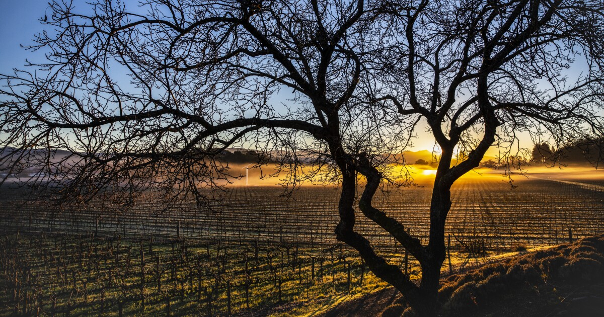 California's Napa and Sonoma wineries pivot for COVID rules  image