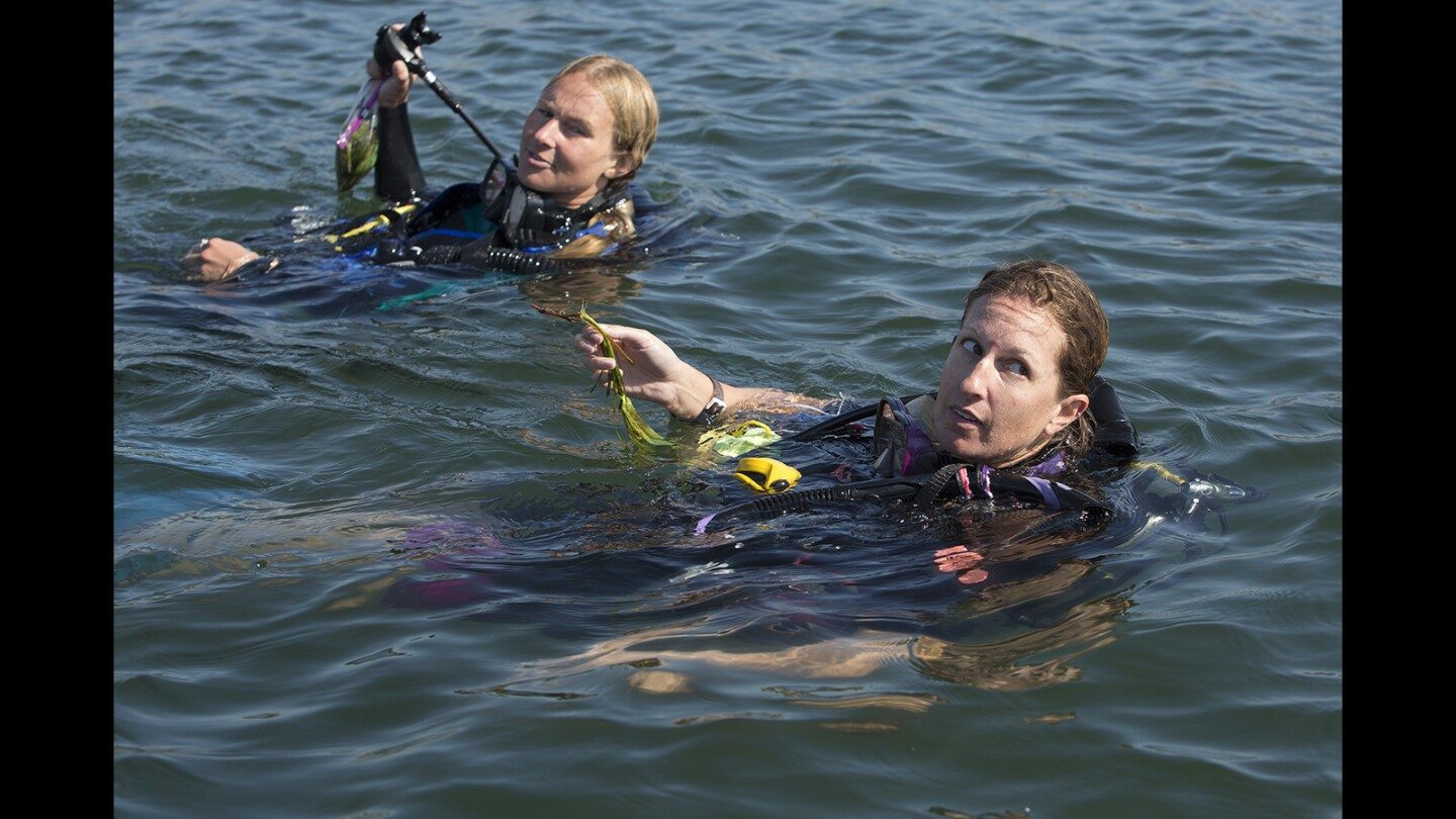 Photo Gallery:  Orange County Coastkeeper and university researchers study beds of eelgrass at Back Bay Science Center