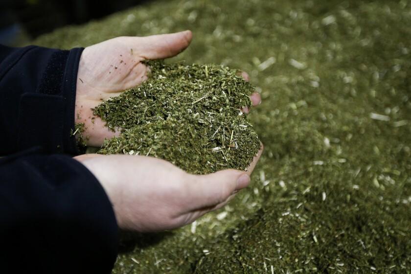Brian Furnish, of Cynthiana, Ky., Director of Farming & Global Production at Ananda Hemp, examines a