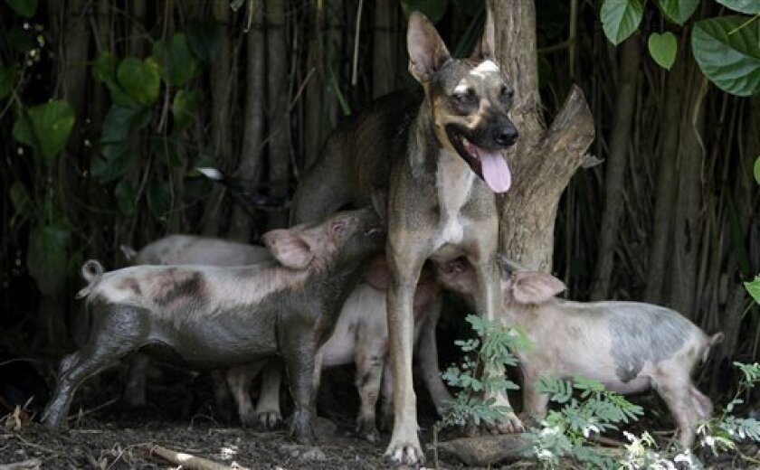 A dog known as 'Yeti' nurses adopted piglets in Camaguey, Cuba, Friday, Sept. 2, 2011. Yeti has been pulling double-duty nursing not just her own young but also the 14 swine. According to the dog's owner Mannorkys Santamaria, no one imposed this on the dog, the piglets discovered this on their own and began nursing with her when they turned 15 days old. (AP Photo/Franklin Reyes)