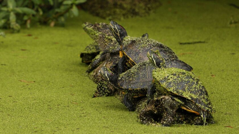 ISLE DE JEAN CHARLES, LOUISIANA--April 1, 2019--Turtles rest on a log in a canal near Pointe Aux Che
