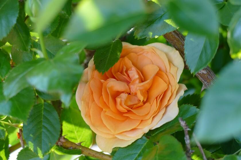 Una rosa del jardín en 2020.