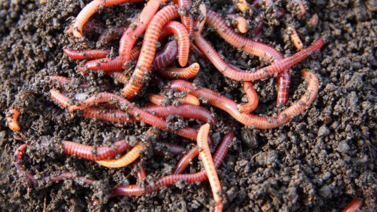 Worm composting turns trash to treasure - The San Diego Union-Tribune