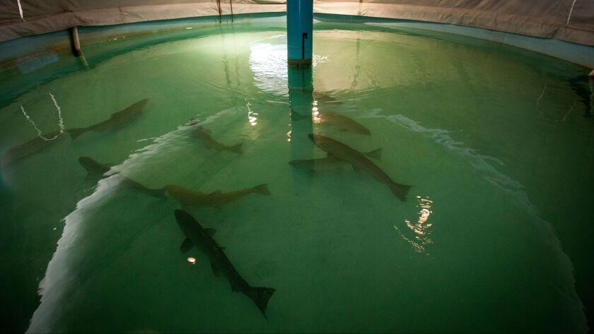 Adult winter-run salmon swim in a tank at the Livingstone Stone National Fish Hatchery in Redding, Calif.