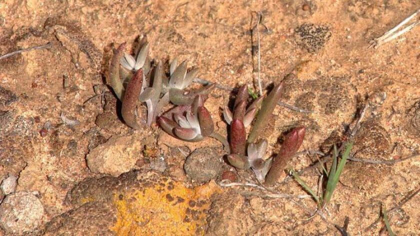 The Dudleya hendrixii, a small succulent plant discovered in Baja California by San Diego State University botany students more than 20 years ago, is named after Jimi Hendrix.