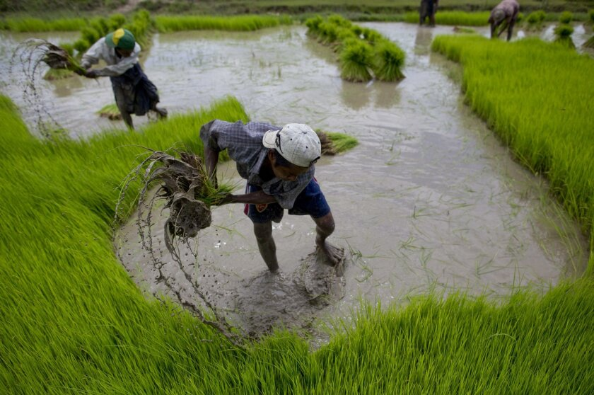 Myanmar rice farmers uproot paddy sprouts to replant in rain-fed rice fields, in Naypyitaw Myanmar, Monday, Aug. 11, 2014. Farmers grow rice with the help of the monsoon rain, which starts late May and ends in mid-October. (AP Photo/Gemunu Amarasinghe)