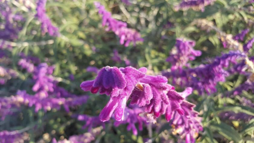 A close-up of the fuzzy purple bracts of the Mexican bush sage.