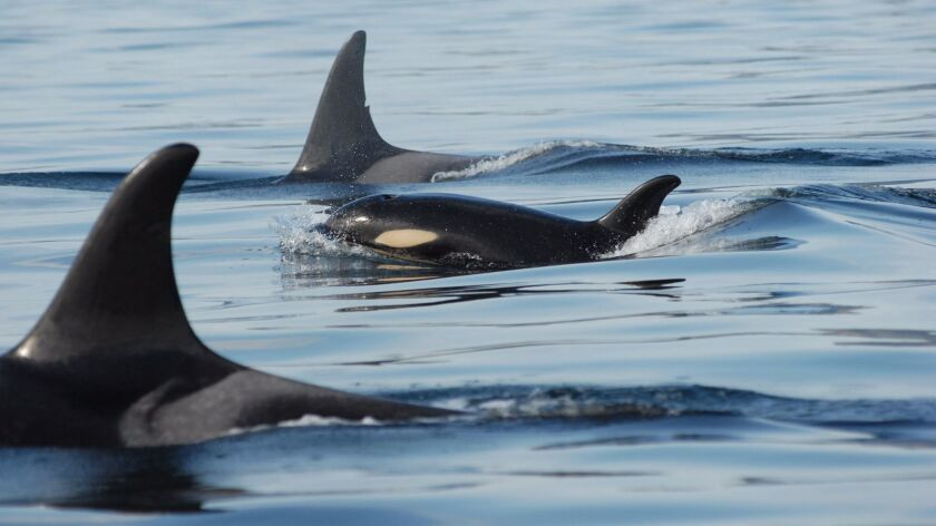 A young killer whale travels with a group of mates. Researchers have discovered that calves of older females are less likely to survive when they have to compete against offspring of younger females.