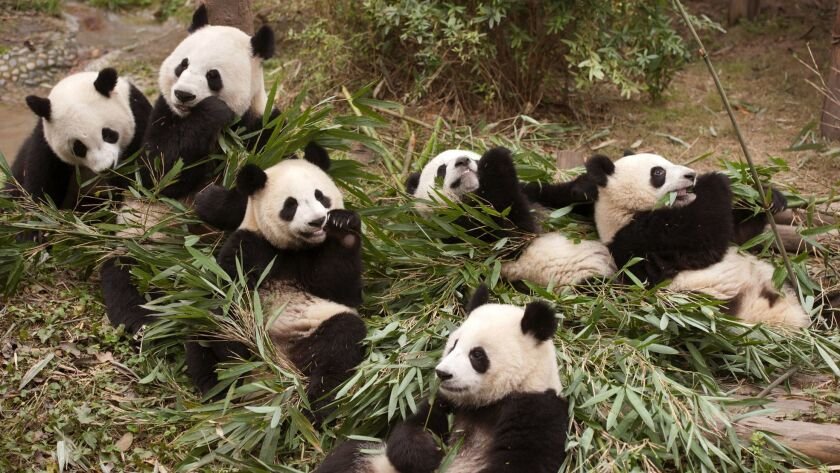 "The Giant Panda Breeding research base in China, where scientists are working toward a goal of releasing captive-born pandas into the wild, where only about 2000 remaining pandas live, in a scene from the Imax documentary ""Pandas."""