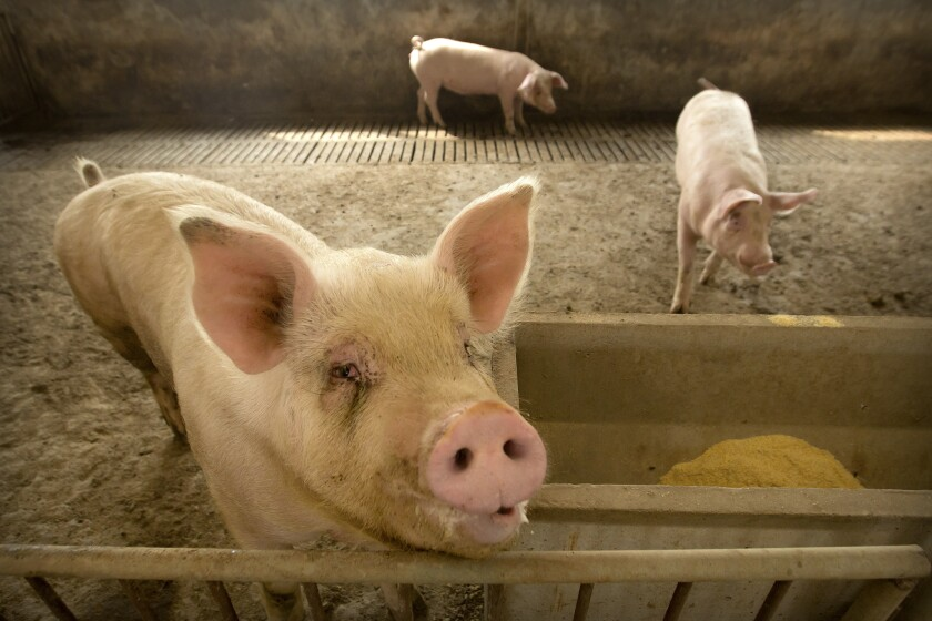 FILE - In this May 8, 2019, file photo, pigs stand in a barn at a pig farm in Jiangjiaqiao village in northern China's Hebei province. Soaring pork prices that nearly doubled in December kept China's inflation at a seven-year high despite government efforts to ease meat shortages caused by a disease outbreak. (AP Photo/Mark Schiefelbein)