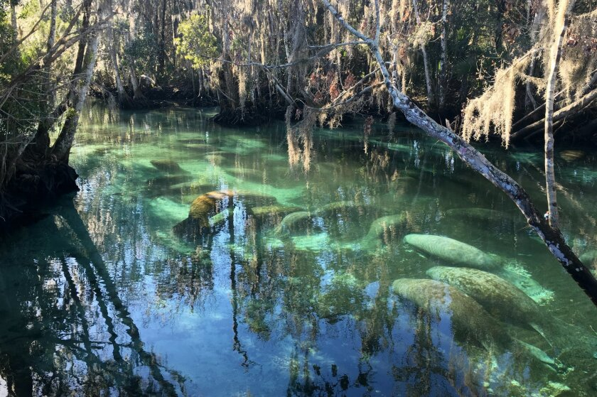 Manatees crowd into 72-degree springs, seeking warmth from cold Gulf temperatures, Thursday, Feb. 11, 2016, at Three Sisters Springs in Crystal River Fla. Like most sensible creatures, manatees _ the sea cows that live in the waters around Florida _ seek warmth when it's cold. On Thursday morning,