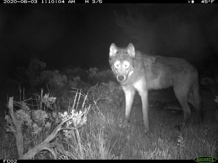 ARCHIVO - Esta fotografía de archivo del 3 de junio de 2020, facilitada por Parques y Vida Silvestre de Colorado, muestra a un lobo captado por una cámara en el condado Moffat, en Colorado. (Parques y Vida Silvestre de Colorado vía AP, Archivo)