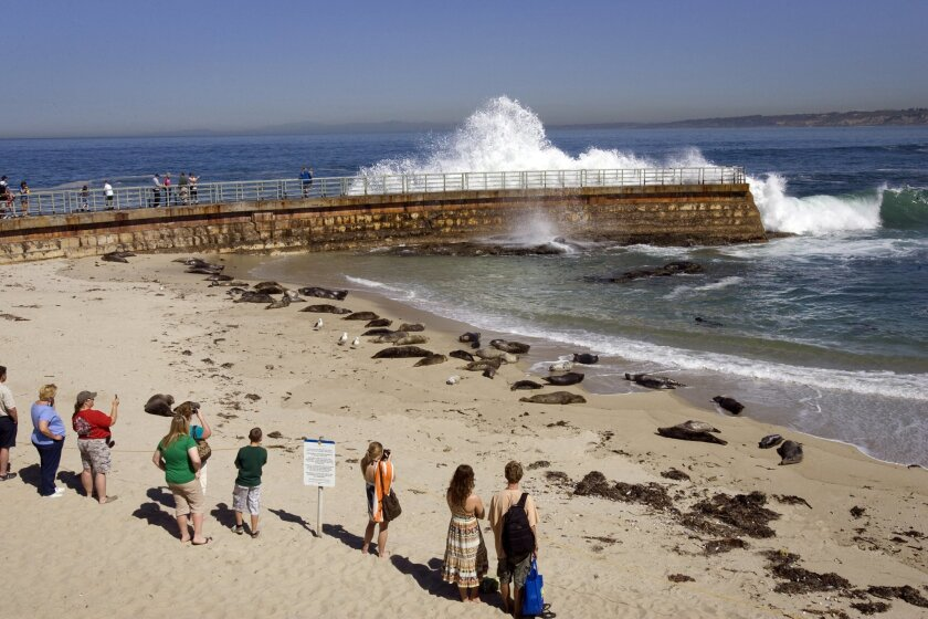 At Children's Pool Beach in La Jolla, folks enjoy watching the mothers and their young pups make their way pass the surf onto the beach to rest and sun themselves.