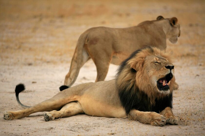 Cecil, one of Zimbabwe's most famous lions, was reportedly shot dead by Walter Palmer, a dentist from Minneapolis, Minn., earlier in July.