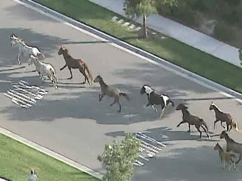 Wild horses run through Chula Vista in this frame grab from video shot by Sky10.
