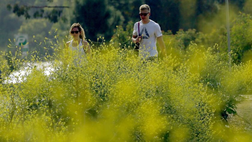 Invasive mustard grass grows along the hiking trails in Griffith Park last month.