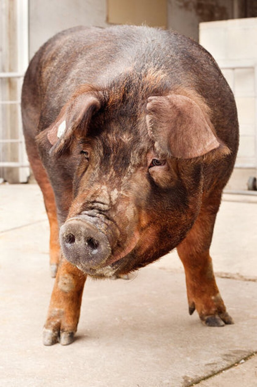 Genome reveals pigs' history, and promise for medical research