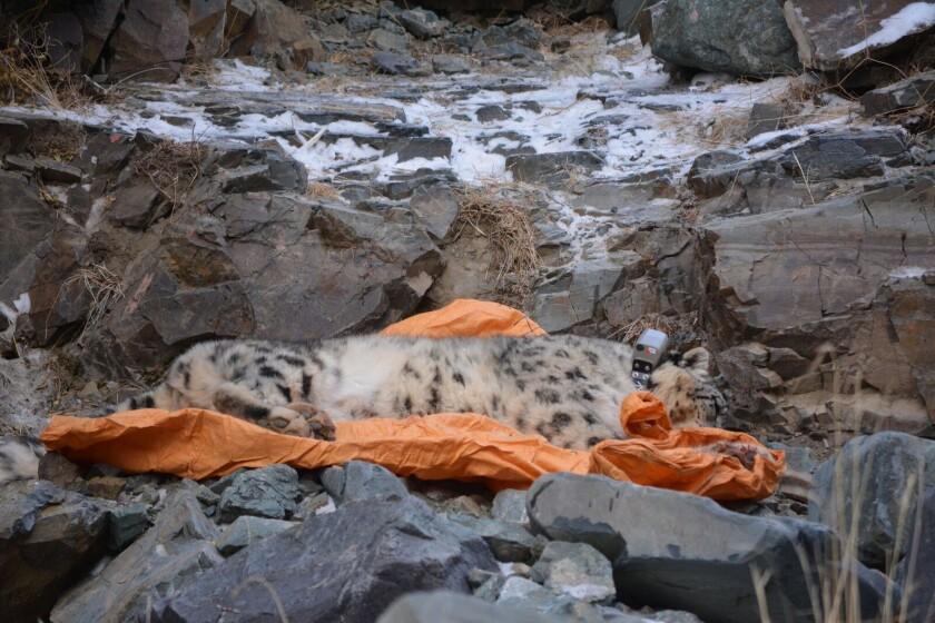 A sedated snow leopard