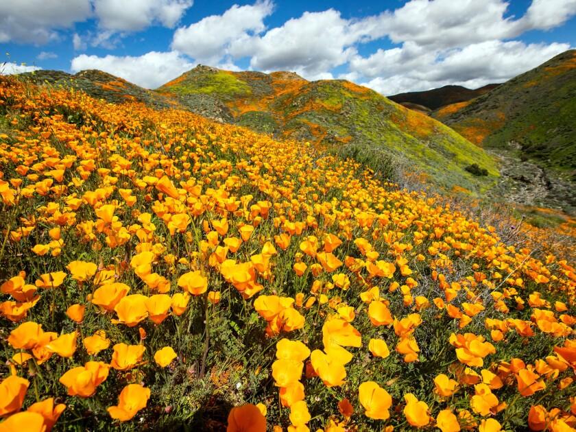 Wildflowers in California