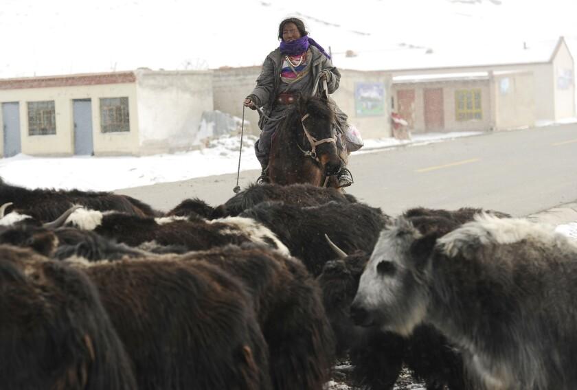 Tibet herder