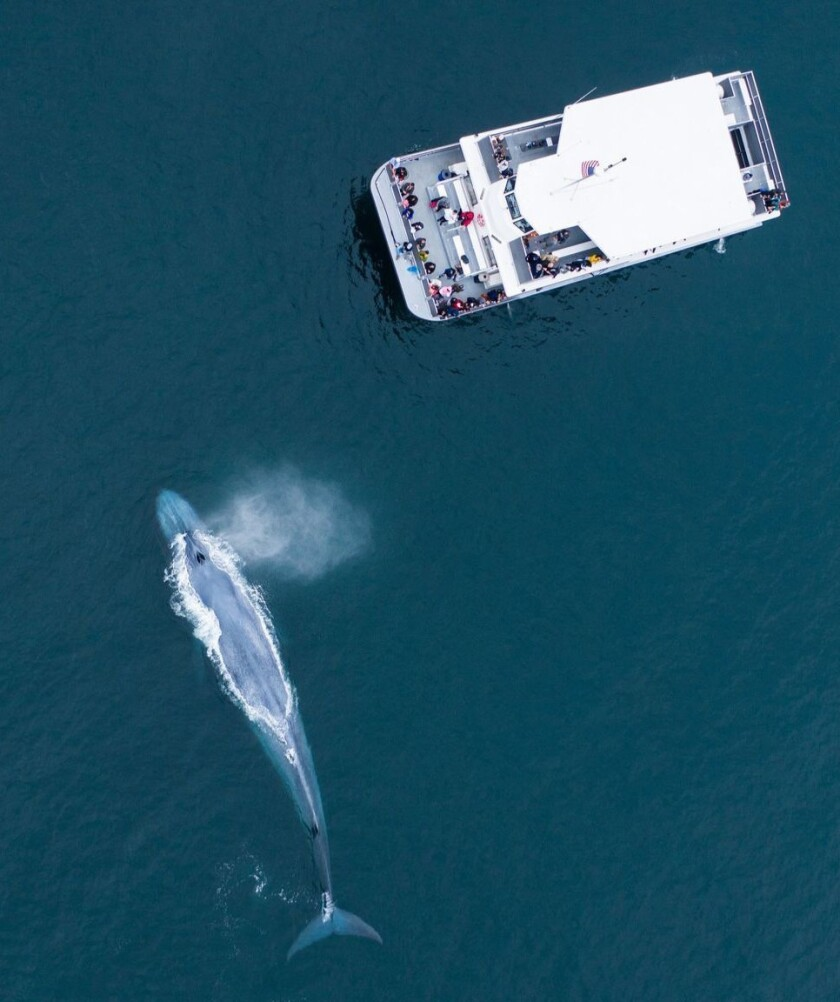 A blue whale off Newport Beach, CA