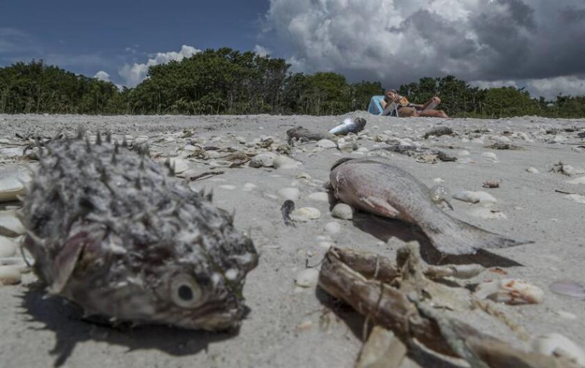 Vista de peces muertos hoy, viernes 3 de agosto de 2018, en la playa Gulfside City Park, en Sanibel, costa oeste de la Florida (EE.UU.). EFE