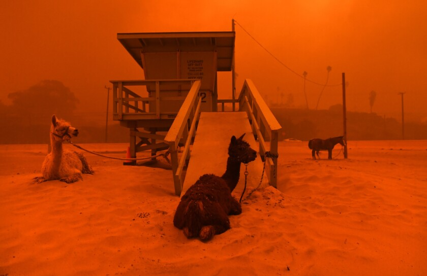 Llamas are tied to a lifeguard stand on the beach in Malibu as the Woolsey fire approaches.