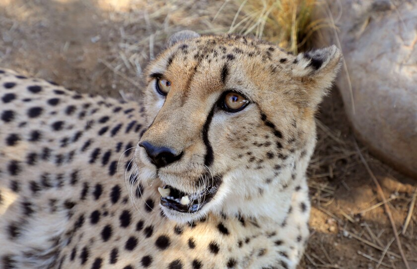 A 2-year-old male cheetah named Hasani relaxes in the shade in an enclosure at Wild Wonders, a wildlife conservation and education center in Bonsall.