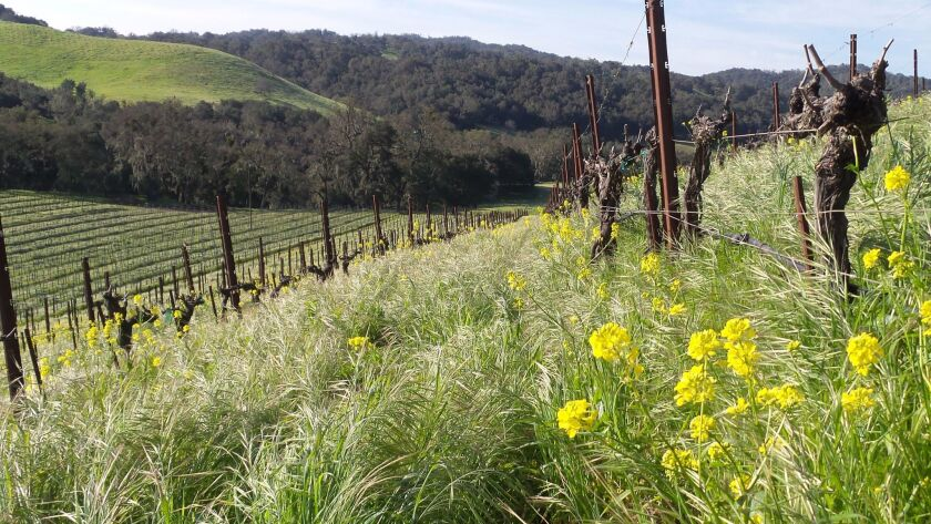California's vineyards are coming back from the brink of disaster thanks to the winter rains