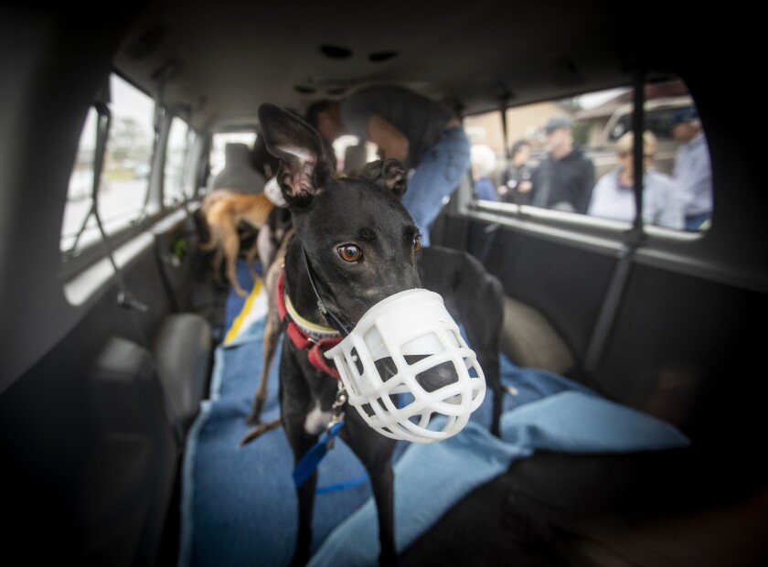 A black greyhound wearing a white muzzle stands inside a van.