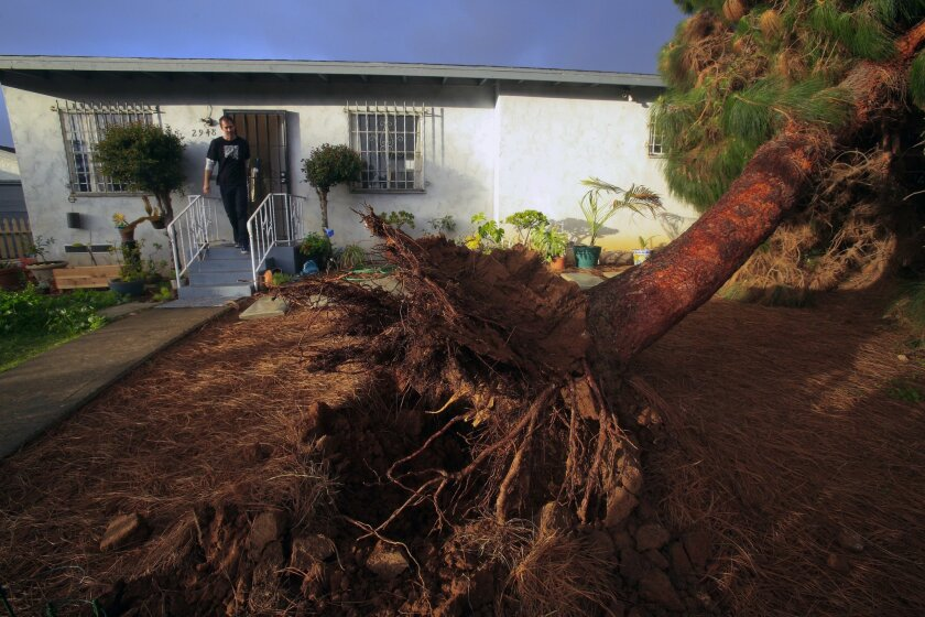 Nic McGuire looks over a tree that had fallen in front of his home in the Grant Hill area of San Diego, Sunday, Jan. 31, 2016. McGuire said the tree fell during the storm on Sunday. Powerful winds have downed dozens of trees and power poles and blown away rooftops as a winter storm moves across California. (Nelvin C. Cepeda/The San Diego Union-Tribune via AP) NO SALES; MANDATORY CREDIT