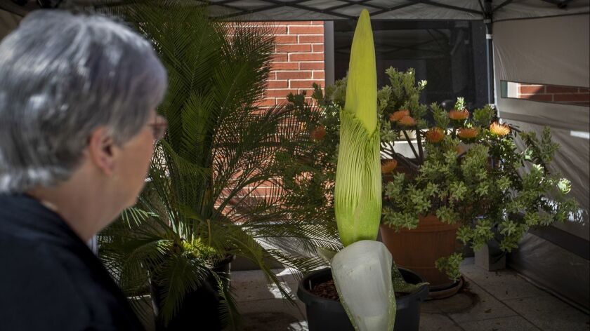Laura Kingsford, former dean of Cal State Long Beach's College of Natural Sciences, visits the university's corpse flower, which is predicted to bloom in the next 24 hours.
