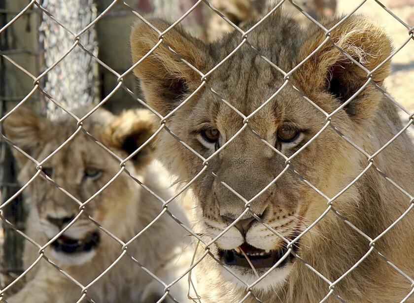 En esta foto provista por Blood Lions, una pareja de leones jóvenes