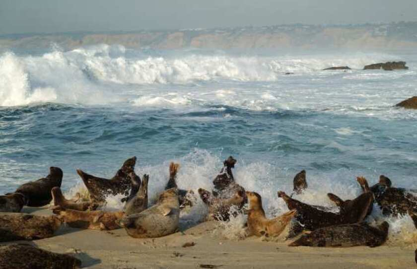 Slumbering harbor seals rise up as a wave hits them at Children's Pool Beach in La Jolla.