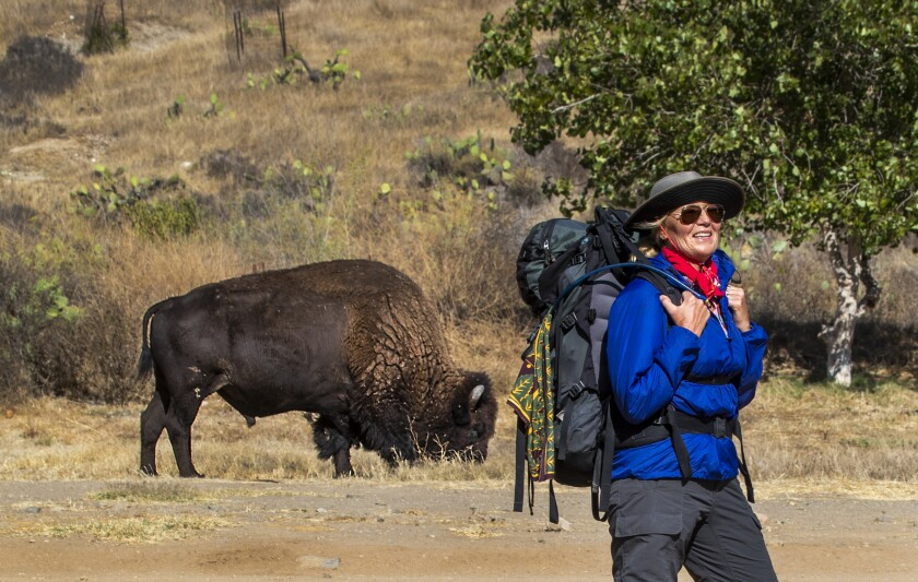A North American bison  grazes near Little Harbor campground in Catalina