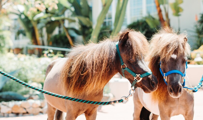 Mini horses Jumpin' Jack Flash and Ziggy Starbutt will greet guests at The Inn at Rancho Santa Fe throughout June and be a part of a brunch series, Mimosas and Minis.