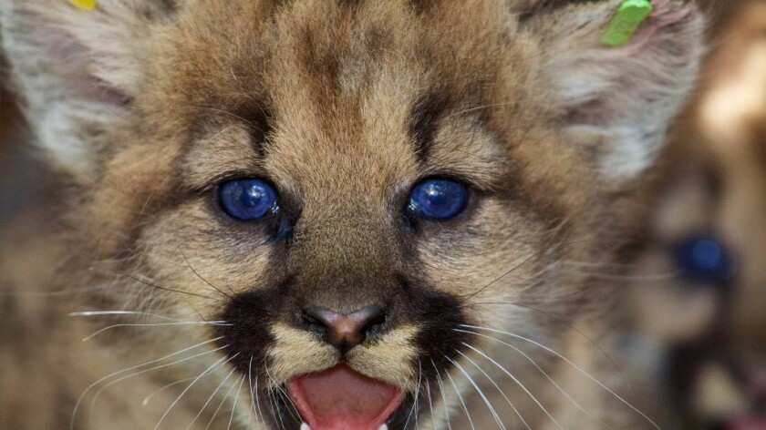 National Park Service researchers discovered two litters of mountain lion kittens in the eastern Santa Susana Mountains in June 2016.