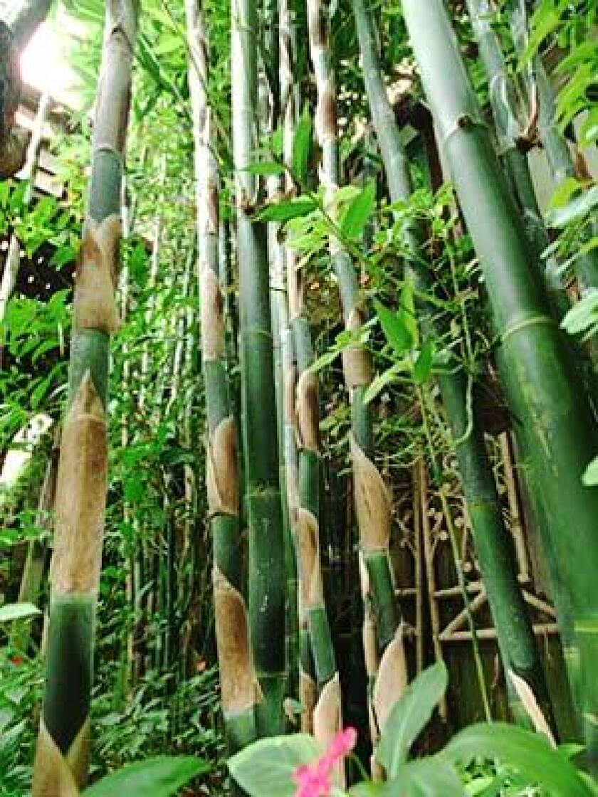 The haute bamboo - Los Angeles Times