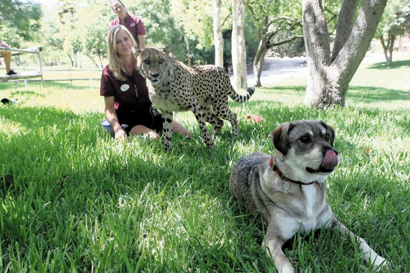 Kiburi, a cheetah, and Hopper, a rescued shepherd mix, hang out with Janet Rose-Hinostroza and other San Diego Zoo Safari Park trainers.
