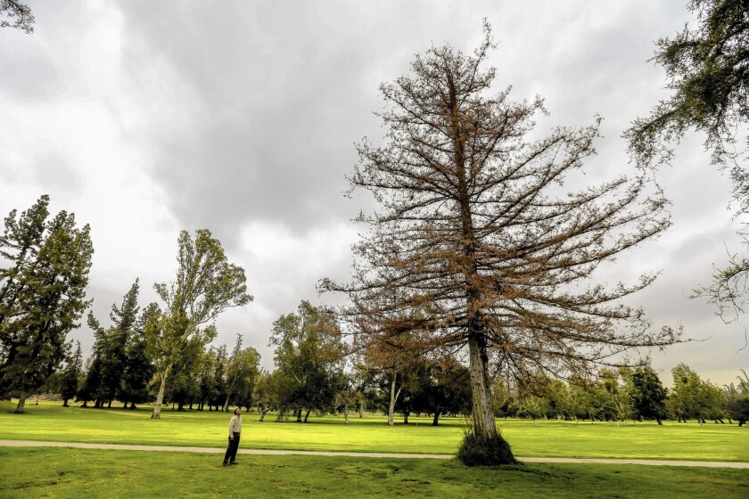 Arthur Flores, a tree surgeon supervisor, checks out redwood and oak trees that are under drought-related stress in Griffith Park.