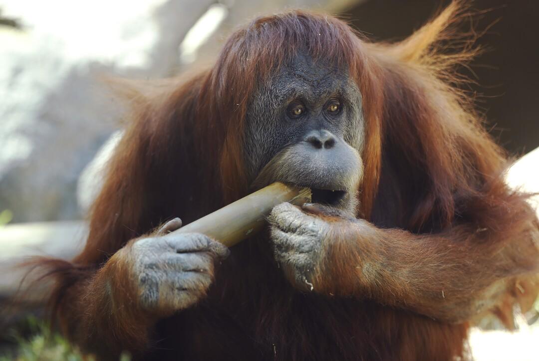 Satu, an orangutan, chews on a stick at the San Diego Zoo on May 19, 2020.