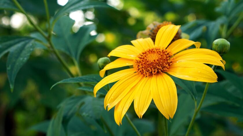 April is a good time to plant Mexican sunflower varieties like this Tithonia diversifolia.
