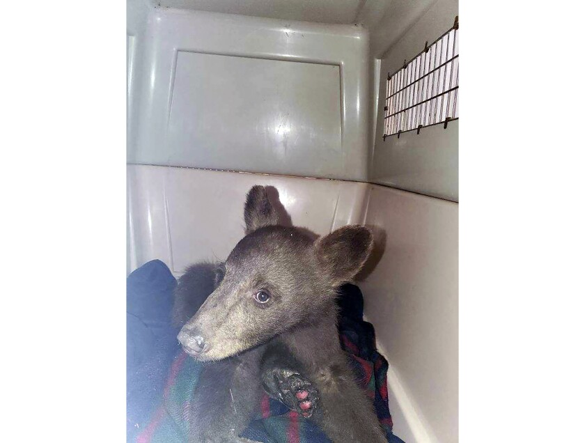 """FILE - In this July 25, 2021, file photo provided by Lake Tahoe Wildlife Care, is a bear cub that was taken in for treatment after it suffered burns in a California wildfire, to Lake Tahoe Wildlife Care in South Lake Tahoe, Calif. Wildlife officials are asking for the public's help in locating a bear cub that escaped from an animal rescue center where he was being treated for burns suffered in a Sierra wildfire.The 6-month-old black bear nicknamed """"Tamarack"""" after the fire that burned his paws escaped his enclosure and managed to tunnel under an electric fence at Lake Tahoe Wildlife Care in South Lake Tahoe, California, the center said in a statement on Tuesday, Aug. 3, 2021. (Lake Tahoe Wildlife Care via AP, File)"""