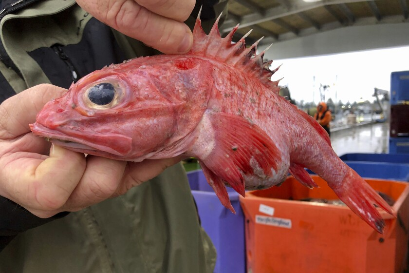 Kevin Dunn, who fishes off the coasts of Oregon and Washington, holds an aurora rockfish at a processing facility in Warrenton, Ore.