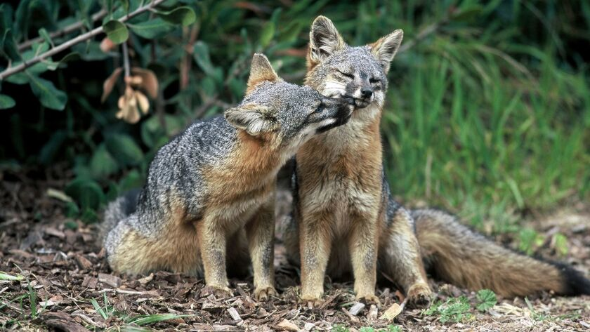 This undated photo provided by the U.S. Fish and Wildlife Service shows two island foxes in Channel