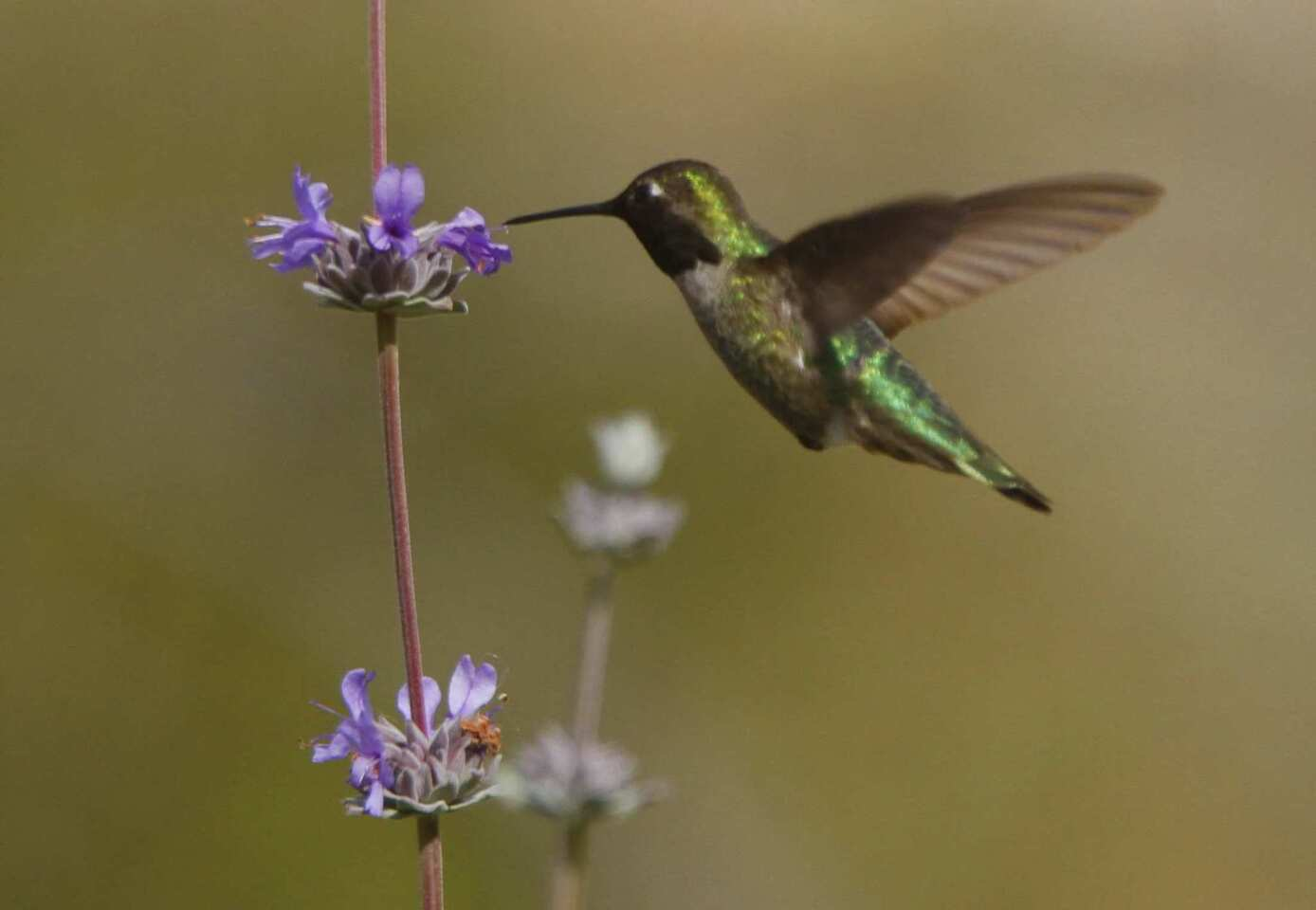 An Anna's hummingbird feeds at a sage plant in the urban garden at Leo Politi Elementary School west of downtown Los Angeles. The campus has become a sanctuary for birds, native plants and an array of insects -- much to the delight of its students.
