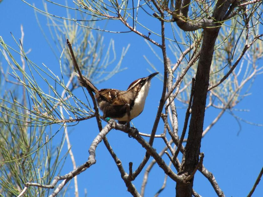 Chestnut-crowned babblers may have a key element of language in their calls, a new study finds.