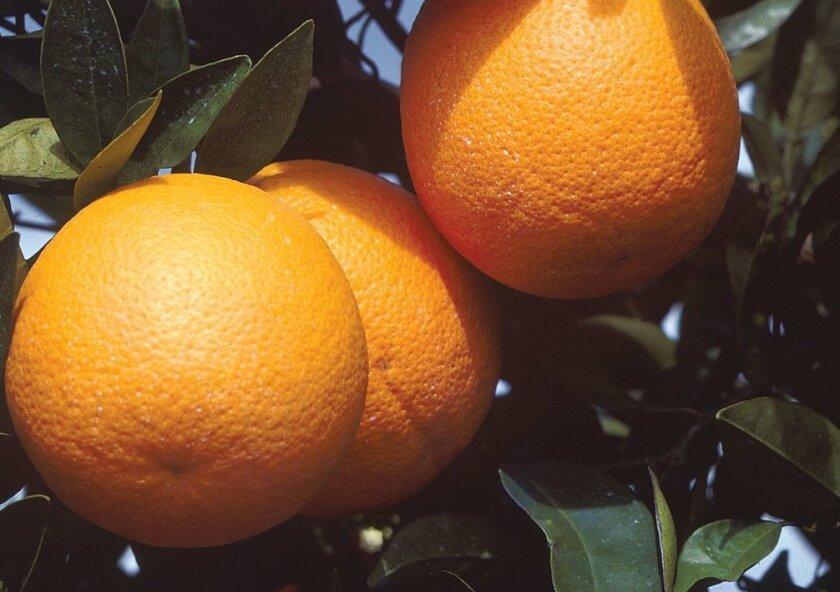 Oranges ripen on a healthy tree.