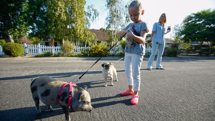 Hollywood stylist Tara Swennen and her daughter, Jordan, 5, walk their pig, Sprinkles, and their pug