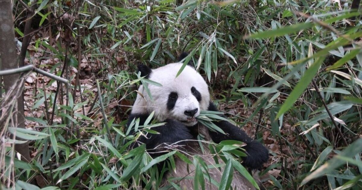 How Bamboo Eating Pandas Trick Their Bodies Into Thinking They Are Carnivores Los Angeles Times
